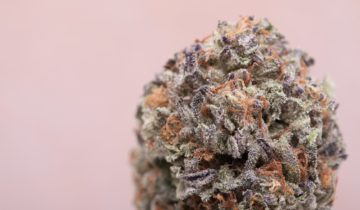 The Legendary Purple Kush: A Review